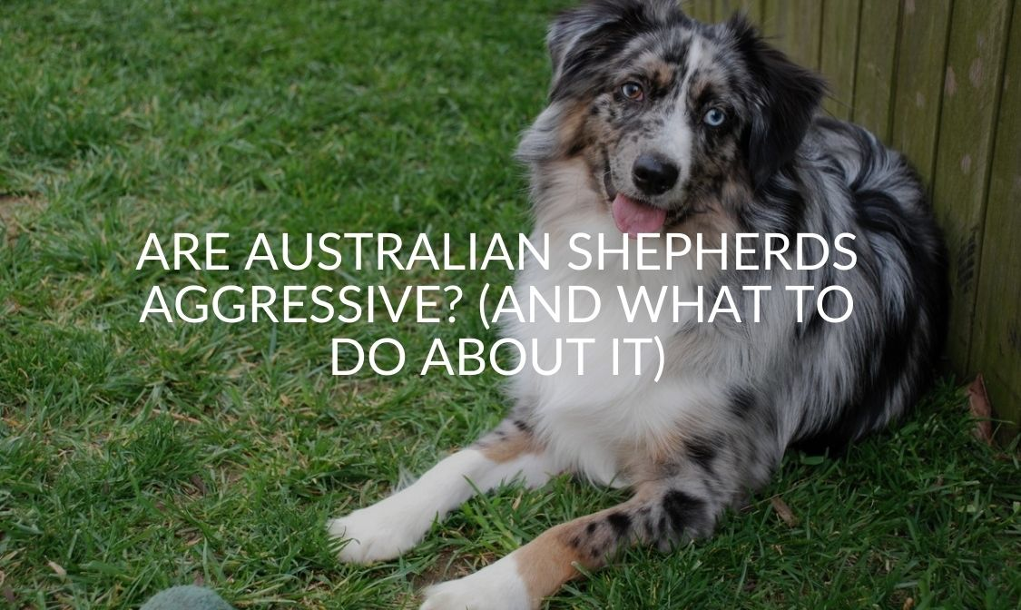 Are Australian Shepherds Aggressive_ (And What To Do About It)