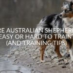 Are Australian Shepherds Easy Or Hard To Train? (And Training Tips)