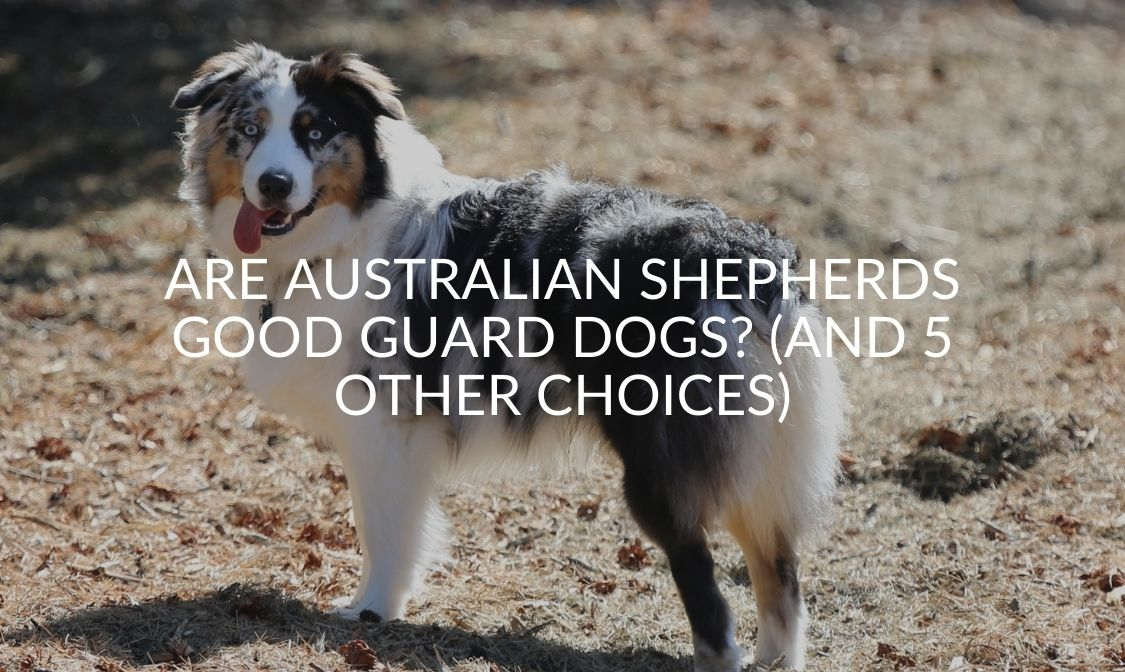 Are Australian Shepherds Good Guard Dogs_ (And 5 Other Choices)