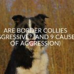 Are Border Collies Aggressive? (And 9 Causes Of Aggression)