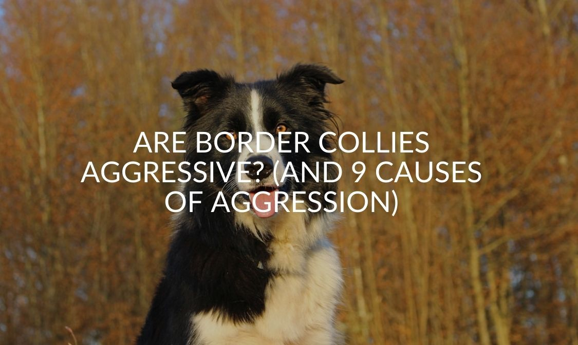 Are Border Collies Aggressive_ (And 9 Causes Of Aggression)