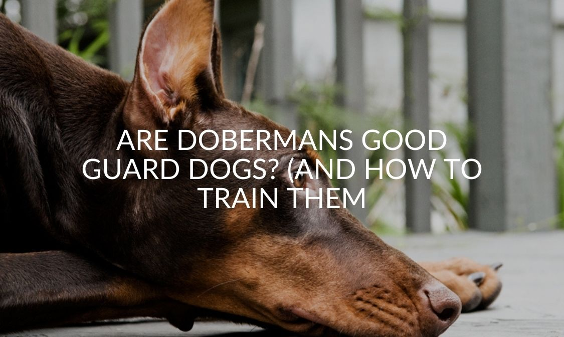Are Dobermans Good Guard Dogs_ (And How To Train Them