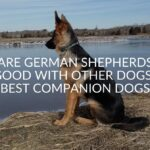 Are German Shepherds Good With Other Dogs? (Best Companion Dogs)