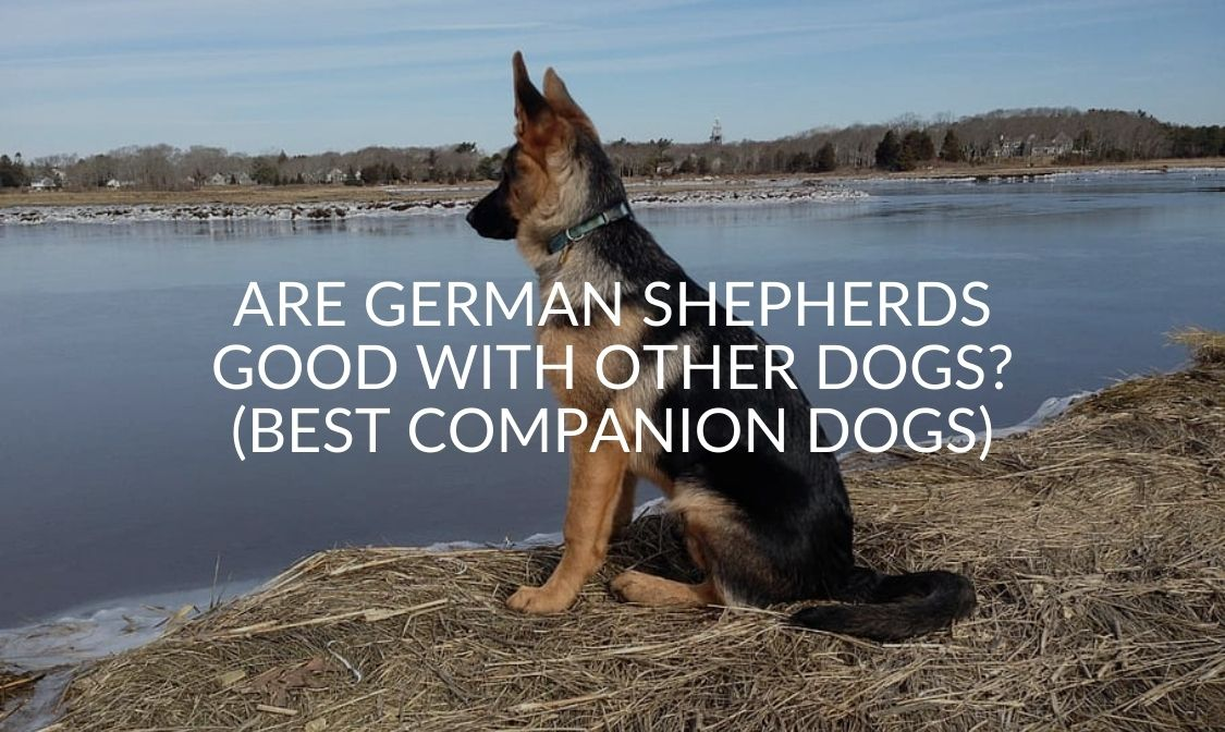 Are German Shepherds Good With Other Dogs_ (Best Companion Dogs)