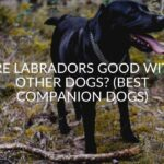 Are Labradors Good With Other Dogs? (Best Companion Dogs)