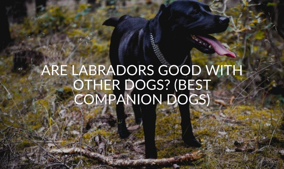 Are Labradors Good With Other Dogs_ (Best Companion Dogs)