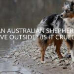 Can Australian Shepherds Live Outside? (Is It Cruel?)