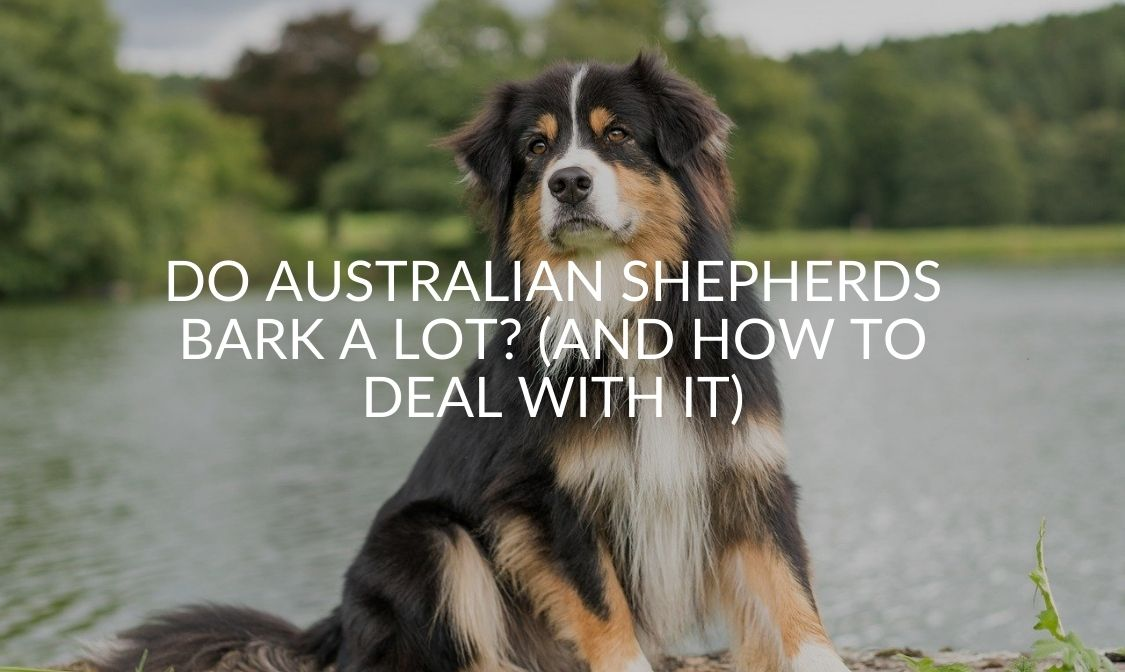 Do Australian Shepherds Bark a Lot_ (And How To Deal With It)