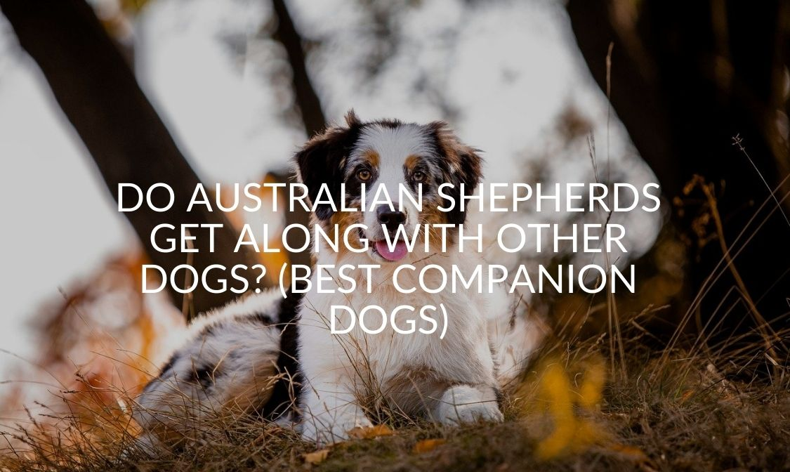 Do Australian Shepherds Get Along With Other Dogs_ (Best Companion Dogs)