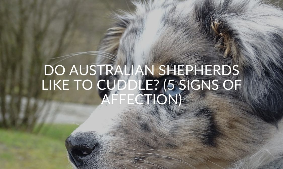 Do Australian Shepherds Like To Cuddle_ (5 Signs Of Affection)