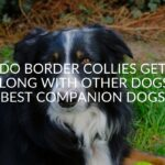 Do Border Collies Get Along With Other Dogs? (Best Companion Dogs)