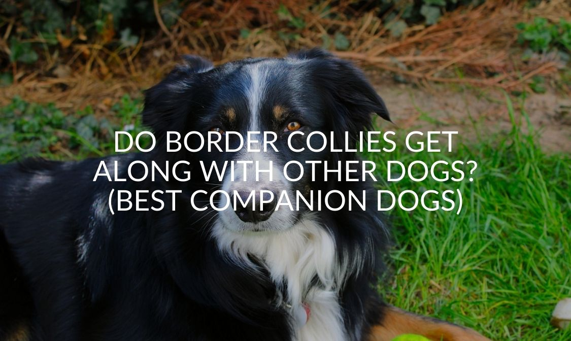 Do Border Collies Get Along With Other Dogs_ (Best Companion Dogs)