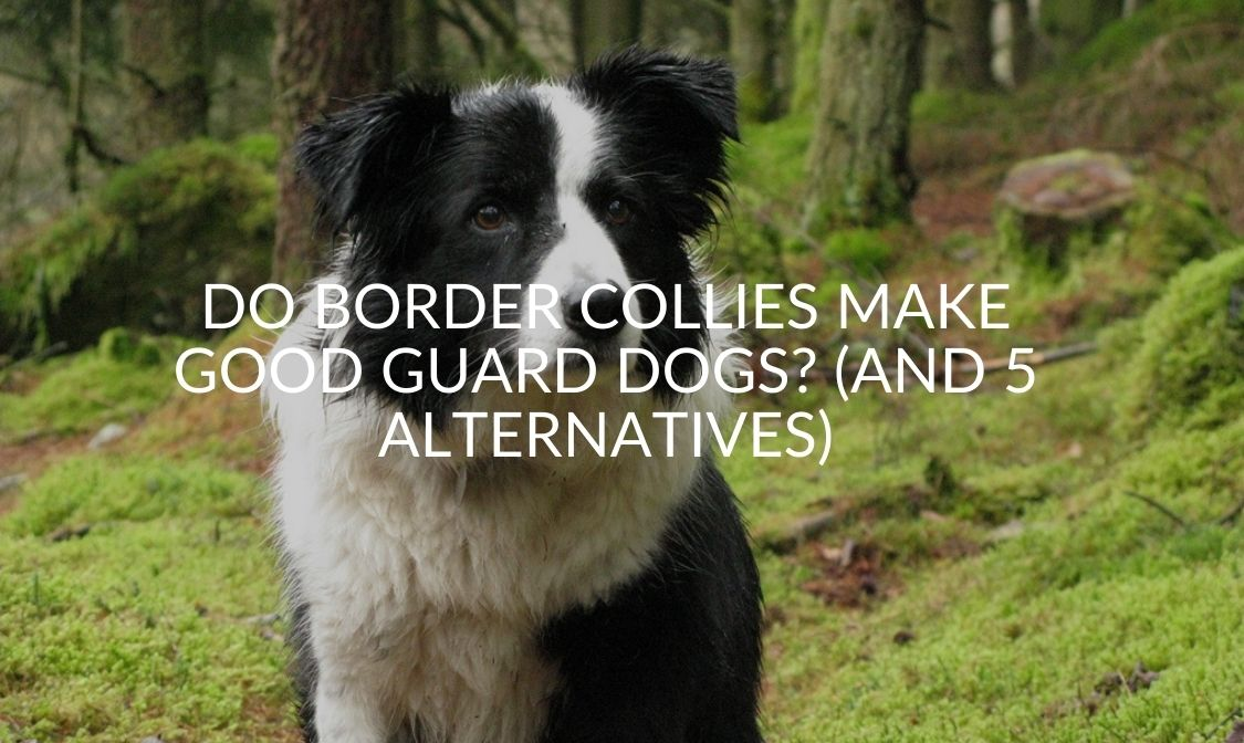 Do Border Collies Make Good Guard Dogs_ (And 5 Alternatives)