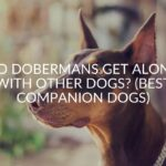 Do Dobermans Get Along With Other Dogs? (Best Companion Dogs)
