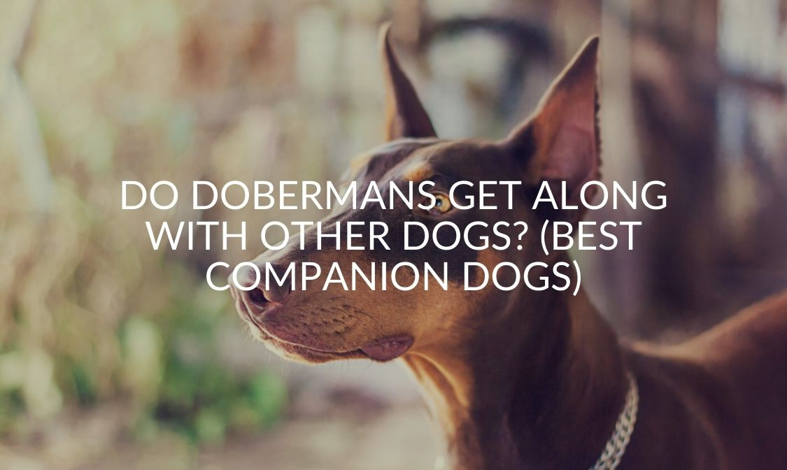 Do Dobermans Get Along With Other Dogs_ (Best Companion Dogs)