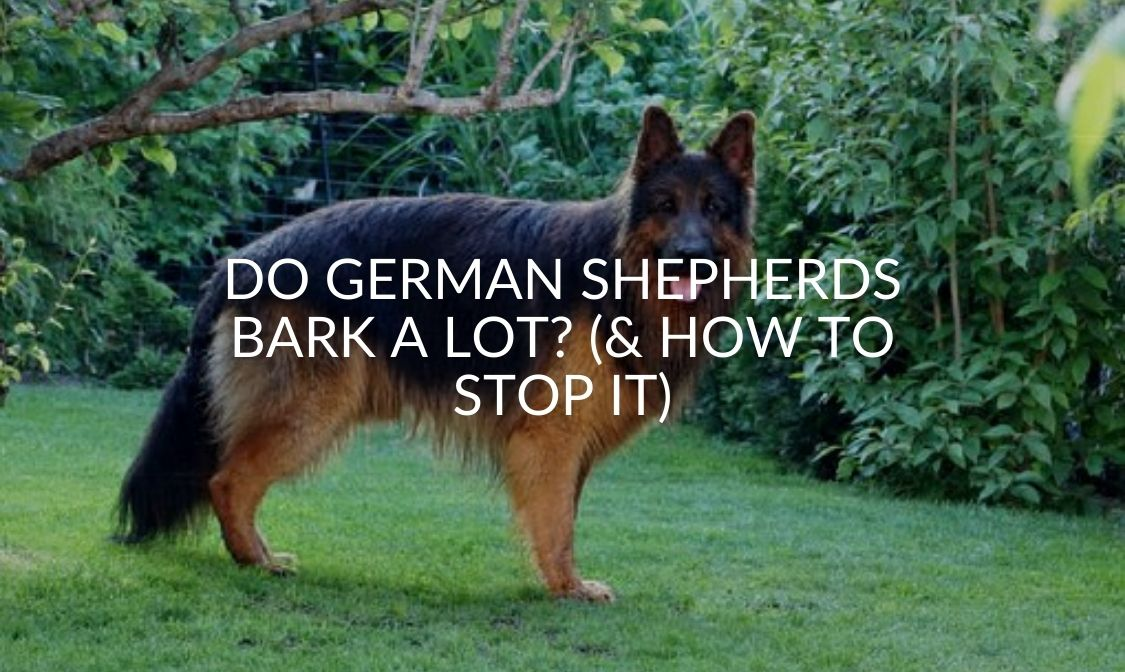 Do German Shepherds Bark A Lot_ (& How To Stop It)