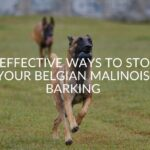 6 Effective Ways To Stop Your Belgian Malinois Barking
