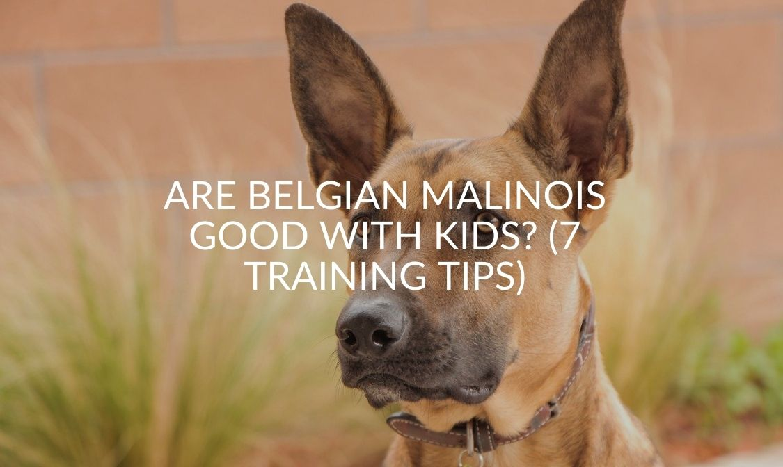 Are Belgian Malinois Good With Kids_ (7 Training Tips)