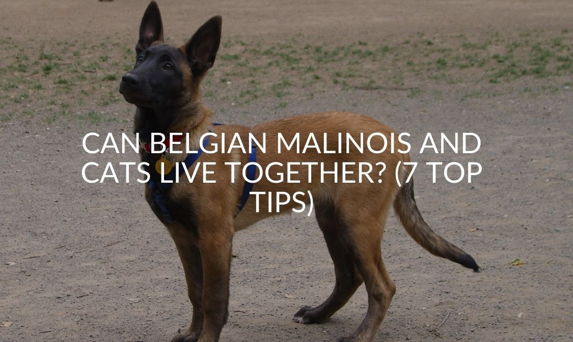 Can Belgian Malinois And Cats Live Together_ (7 Top Tips) (1)