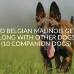 Do Belgian Malinois Get Along With Other Dogs? (10 Companion Dogs)
