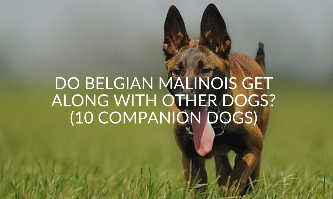 Do Belgian Malinois Get Along With Other Dogs_ (10 Companion Dogs)