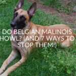 Do Belgian Malinois Howl? (And 7 Ways To Stop Them!)