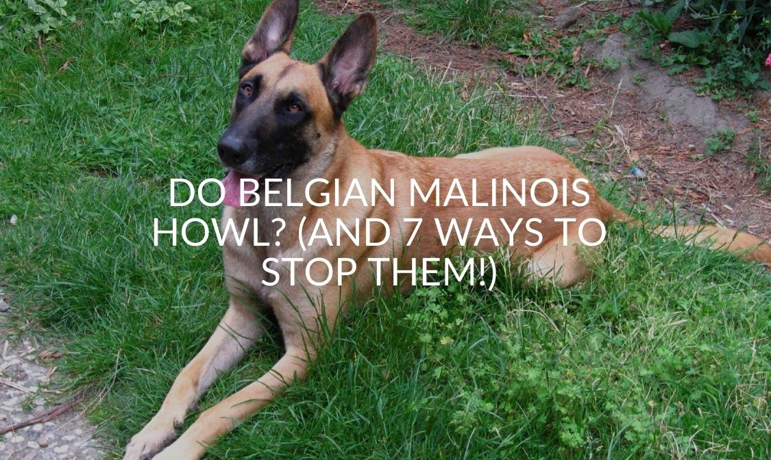Do Belgian Malinois Howl_ (And 7 Ways To Stop Them!)
