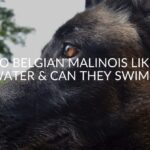 Do Belgian Malinois Like Water & Can They Swim?
