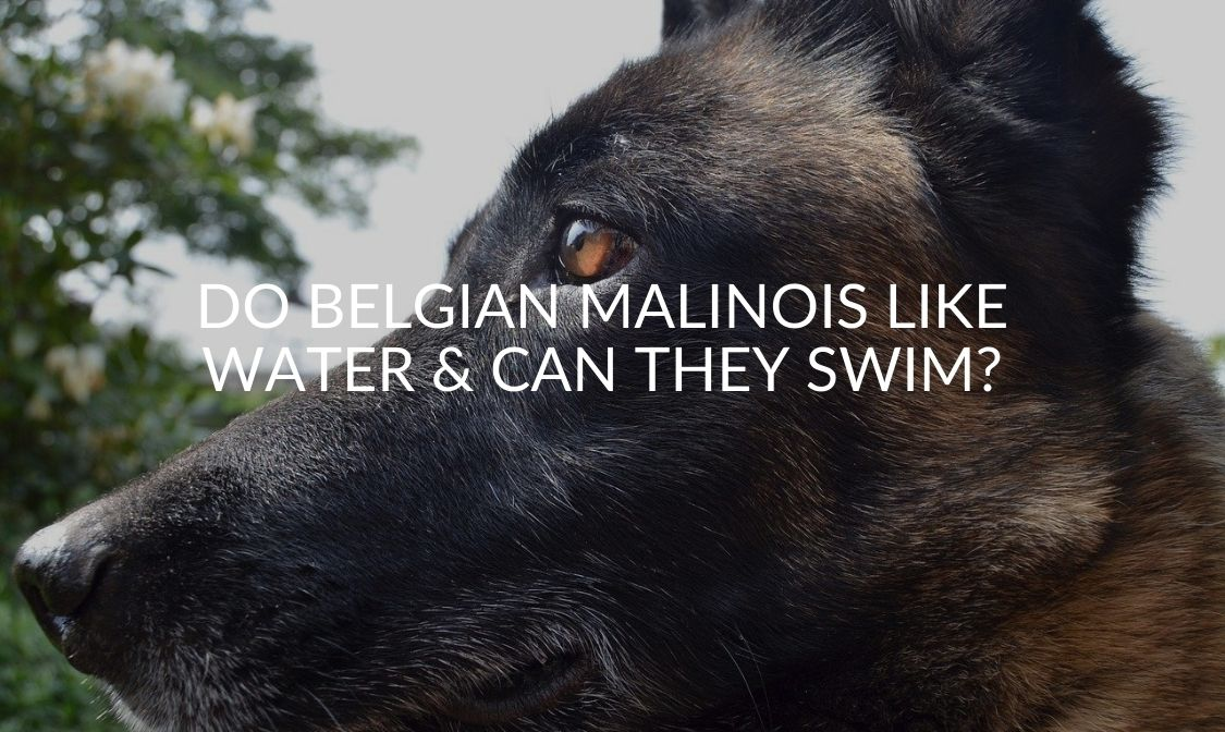 Do Belgian Malinois Like Water & Can They Swim_ (1)