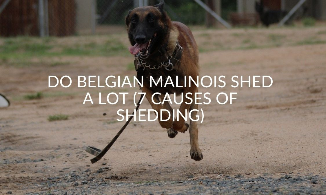 Do Belgian Malinois Shed A Lot (7 Causes Of Shedding)
