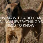 Living With A Belgian Malinois (Everything You Need To Know)