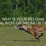 Why Is Your Belgian Malinois Growling (8 Tips To Help!)