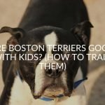 Are Boston Terriers Good With Kids? (How To Train Them)