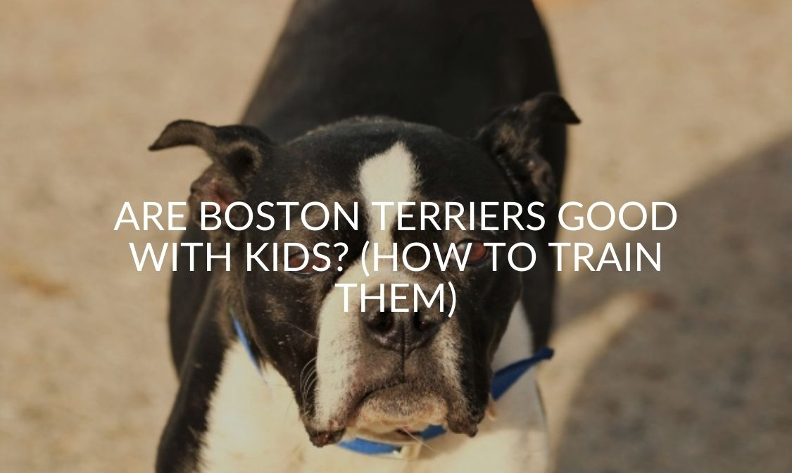 Are Boston Terriers Good With Kids (How To Train Them)