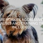 Are Yorkies Aggressive? (Causes And Training Tips Included)