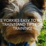 Are Yorkies Easy To Potty Train? (And Tips For Training)