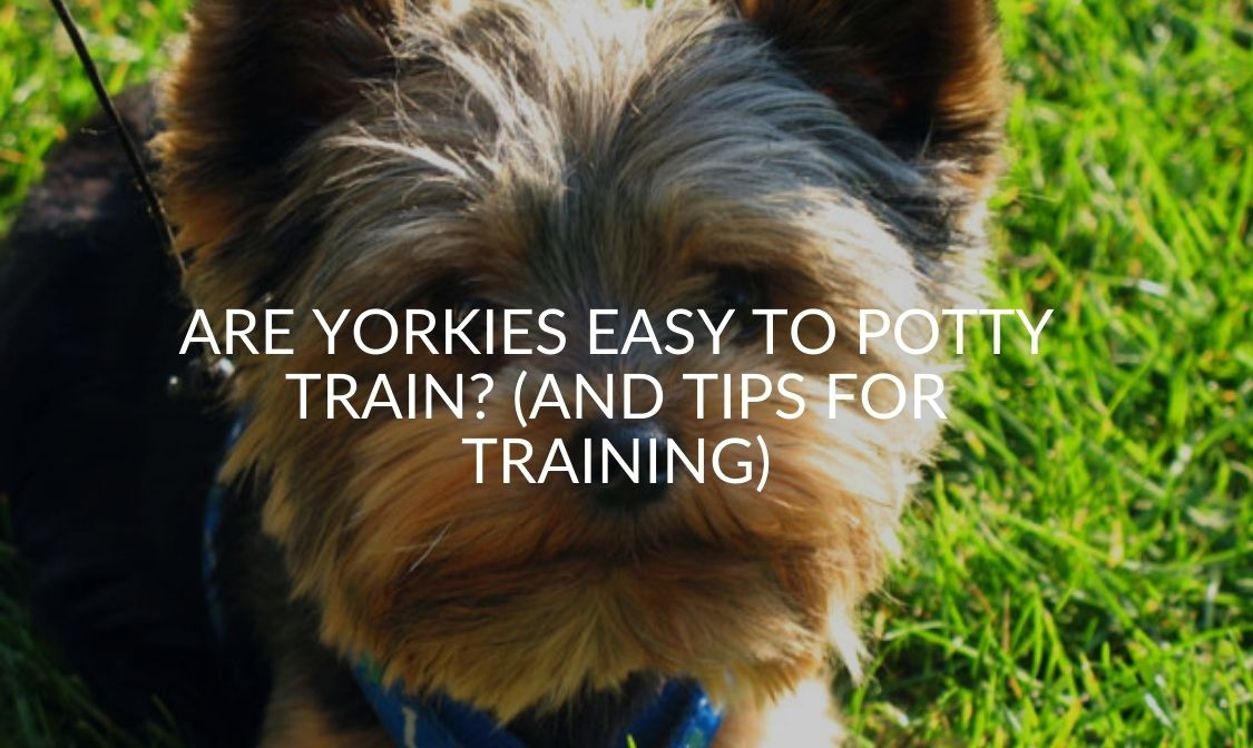 Are Yorkies Easy To Potty Train (And Tips For Training)