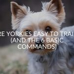 Are Yorkies Easy To Train? (And The 6 Basic Commands)