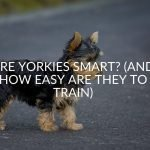 Are Yorkies Smart? (And How Easy Are They To Train)