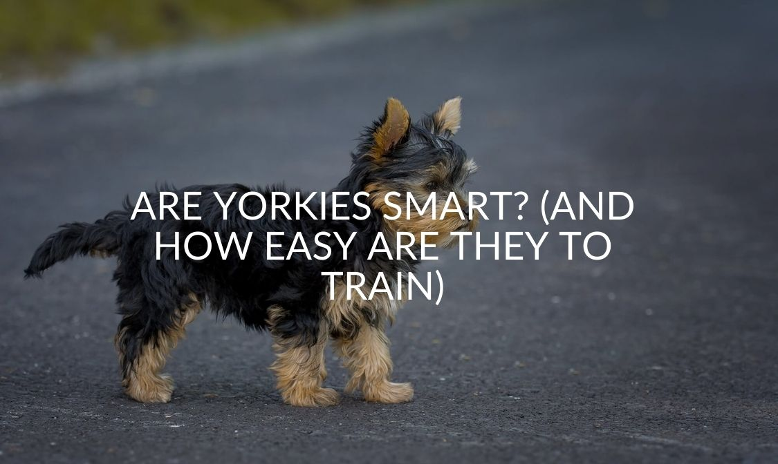 Are Yorkies Smart (And How Easy Are They To Train)