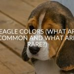Beagle Colors (What Are Common And What Are Rare)