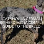 Catahoula German Shepherd Mix (A Complete Guide To The Breed)