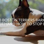 Do Boston Terriers Bark A Lot? (And How To Stop It)
