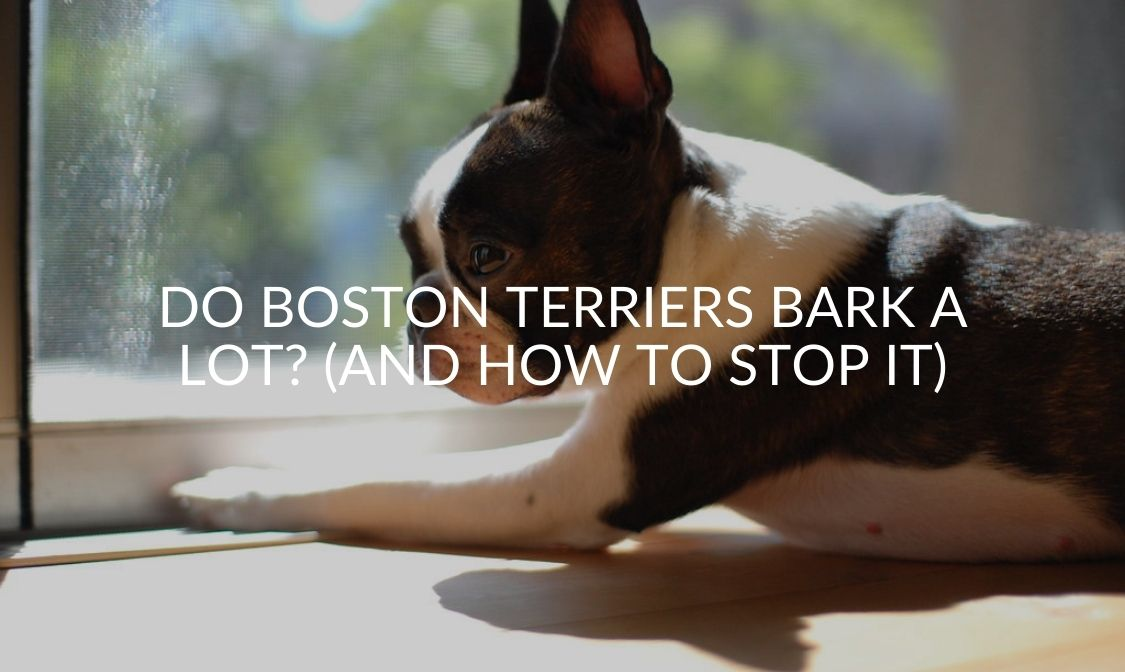 Do Boston Terriers Bark A Lot (And How To Stop It)