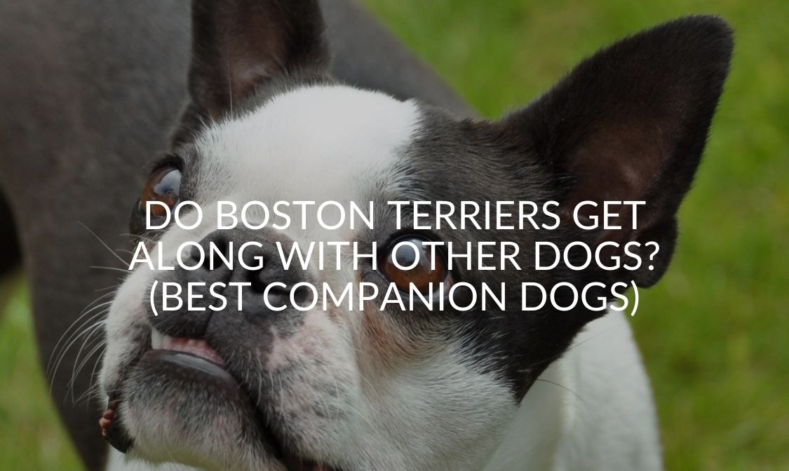 Do Boston Terriers Get Along With Other Dogs (Best Companion Dogs)