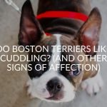 Do Boston Terriers Like Cuddling? (And Other Signs Of Affection)