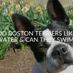 Do Boston Terriers Like Water & Can They Swim?