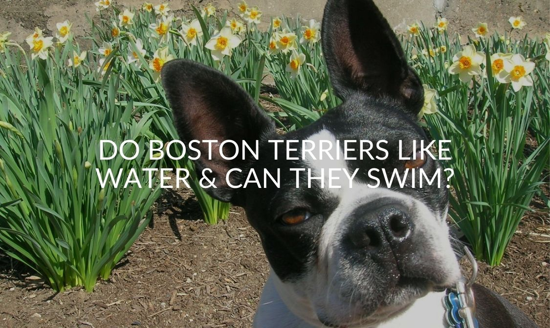 Do Boston Terriers Like Water & Can They Swim