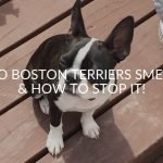 Do Boston Terriers Smell & How To Stop It!