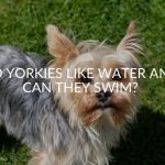 Do Yorkies Like Water And Can They Swim?